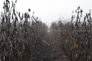 Spider webs in the Edamame fields