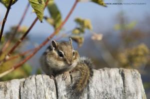 エゾリス!(Ezo Risu) - Hokkaido Squirrel