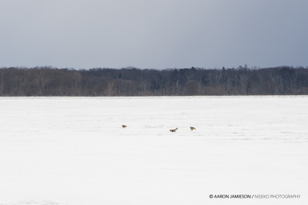 Junior foxes on the frozen lakes.